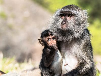 Crab-eating macaque (Macacae fascicularis)
