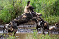 Young Wild Dog Brothers