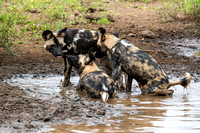 Wild Dogs playing in the mud