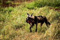 Wild Dogs meal, Baby Warthog